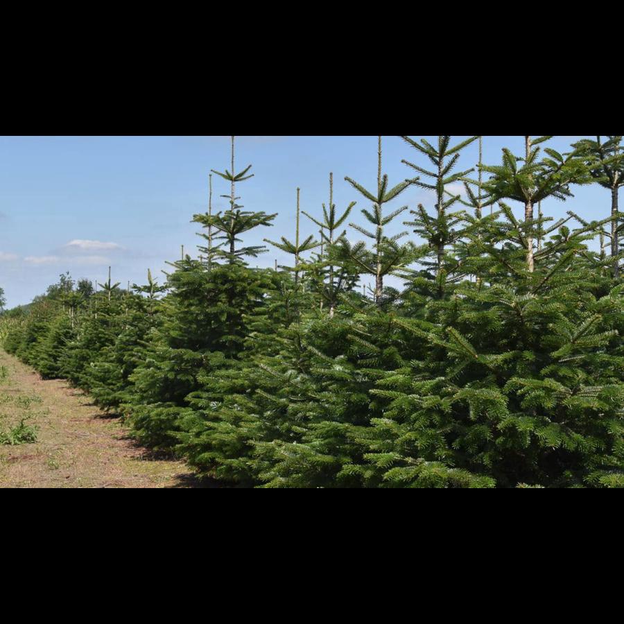 Kerstboom - Nordmann - 175 cm - Online - Kopen-5