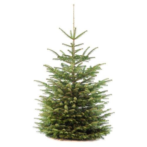 Echte Kerstboom - Nordmann - 150-175 cm