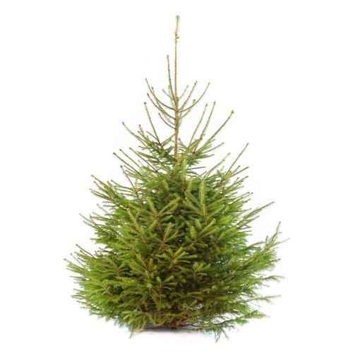 Echte Kerstboom - Picea Omorika - 150-175 cm