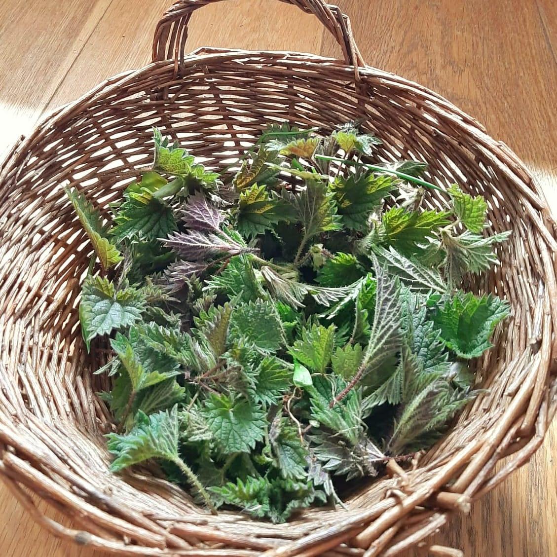 Basket of Baby Nettle Leaves