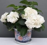 Yajutang Blumentopf Blau-Weiß & roten Blumen Ø28