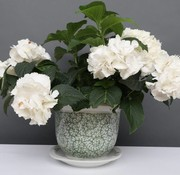 Yajutang Blumentopf Weiß-Grün & Schneckeblatt Ø29