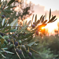 Part 1: What is Olive oil?
