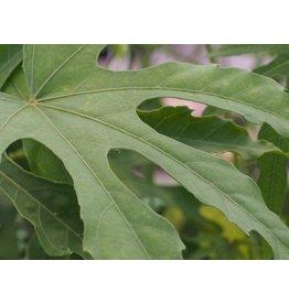 Fatsia polycarpa 'Green Fingers'