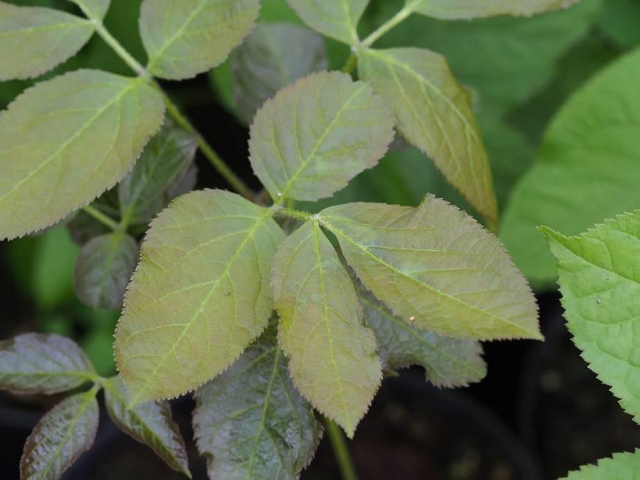 Aralia nudicaulis