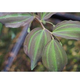 Polygonatum 'Black Jade'