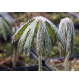 Syneilesis palmata
