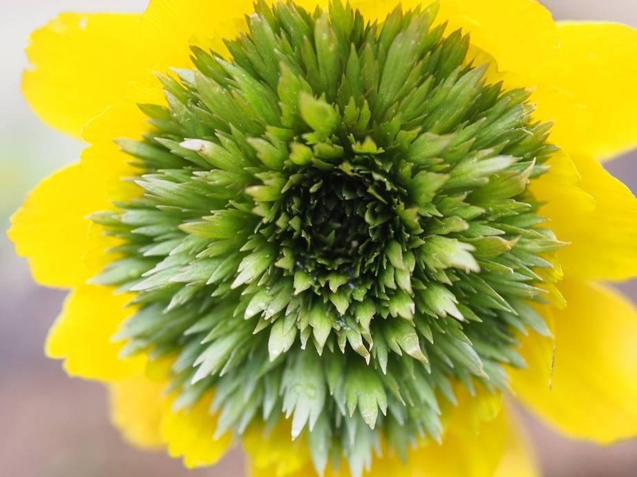 Adonis amurensis 'Pleniflora'