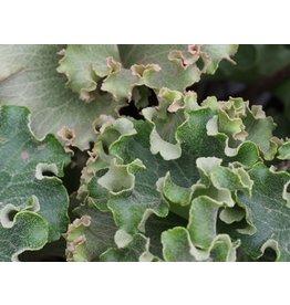 Farfugium japonicum 'Wavy Gravy'