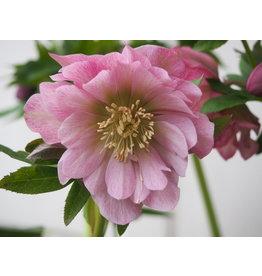 Helleborus orientals 'Double Ellen® Pink'