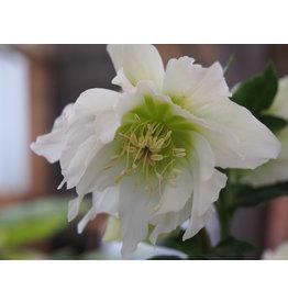 Helleborus orientals 'Double Ellen® White'
