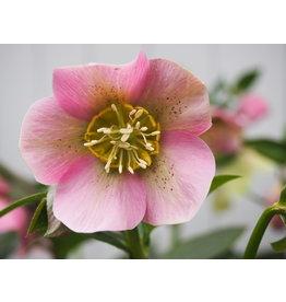 Helleborus orientals 'Pretty Ellen Pink'