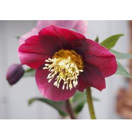 Helleborus orientals 'Pretty Ellen Purple'