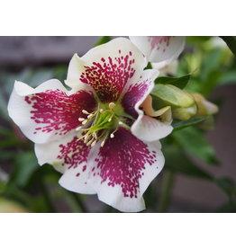 Helleborus orientals 'Pretty Ellen White Spotted'
