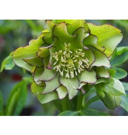 Helleborus orientals 'Double Ellen® Green'