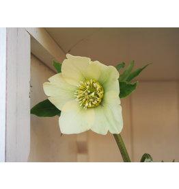 Helleborus orientals 'Pretty Ellen Yellow'