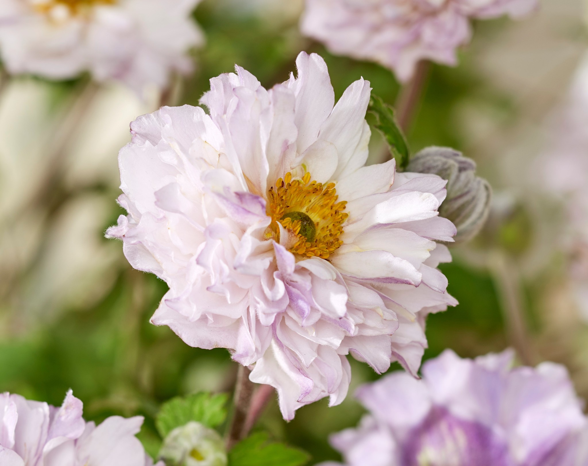 Anemone rupicola 'Frilly Knickers'