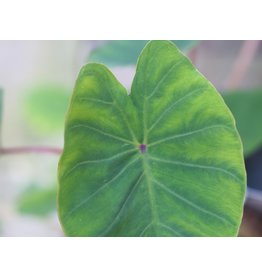 Colocasia 'Pink China'