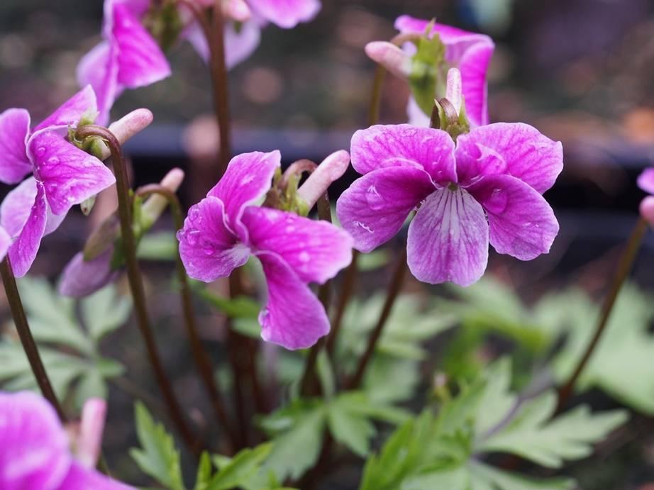 Viola chaerophylloides 'Benizuru'