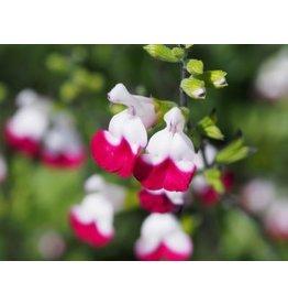 Salvia 'Cherry Lips'