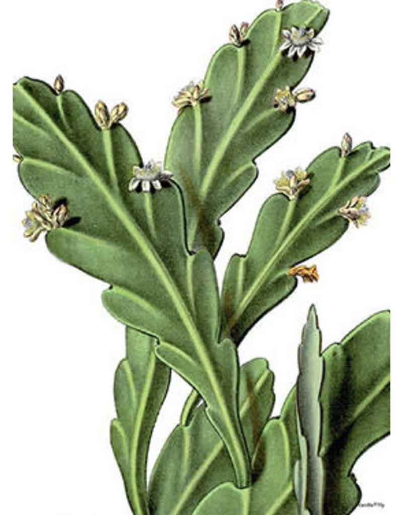 Vanilla Fly poster - succulent