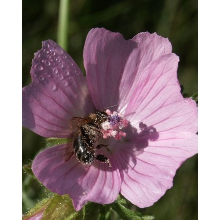 Musk Mallow - seeds - by 10g