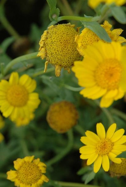 Corn Marigold - seeds - by 10g