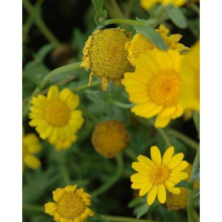 Gele Ganzenbloem - zaden - per 10g