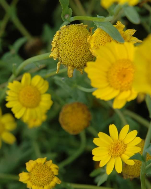 Gele Ganzenbloem - zaden - per 10g-1