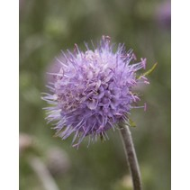 Devil's-bit Scabious - seeds - by 10g