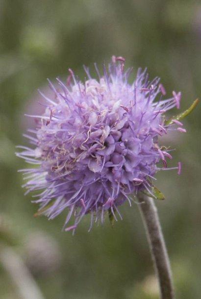 Blauwe knoop - zaden - per 10g