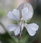 Blaassilene - zaden - per 10g