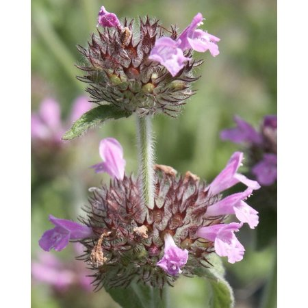 Wild Basil - seeds - by 10g
