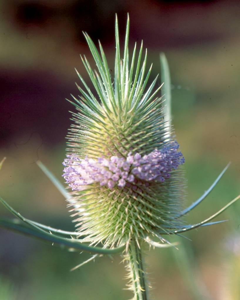 Grote Kaardebol - zaden - per 10g-1