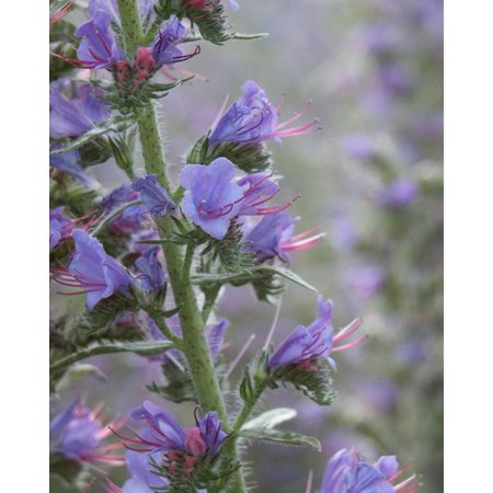 Viper's Bugloss - seeds - by 10g