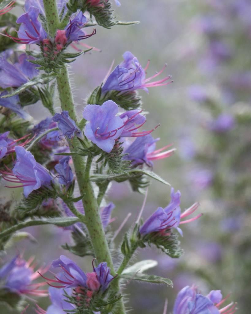 Viper's Bugloss - seeds - by 10g