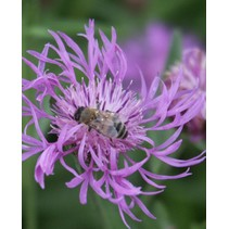 Brown Knapweed - seeds - by 10g