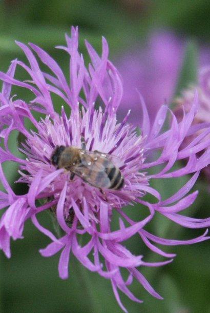 Centaurée Jacée - semences - par 10g