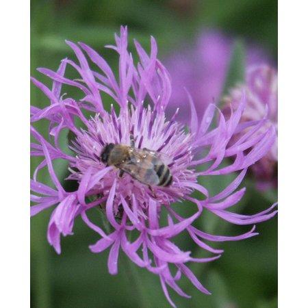 Brown Knapweed - seeds - by 10g