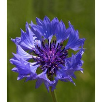 Cornflower - seeds - by 10g