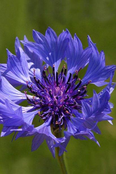 Centaurée Bleuet - semences - par 10g