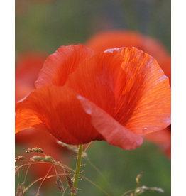 Flanders Poppy - seeds - by 10g