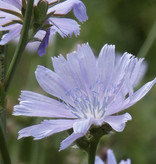 Common Chicory - seeds - by 10g