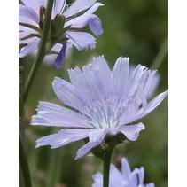 Wilde Chicorei - zaden - per 10g