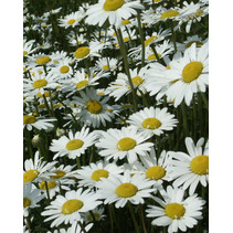 Ox-eye Daisy - seeds - by 10g