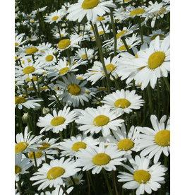 Ox-eye Daisy - seeds - by 10g