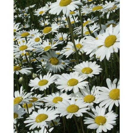 Marguerite Commune - semences - par 10g