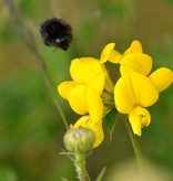 Common Bird's-Foot Trefoil - seeds - by 10g
