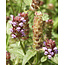 Common Self-heal - seeds - by 10g