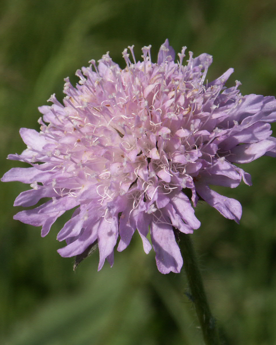 Field Scabious - seeds - by 10g